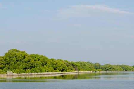 brackish water: Mangrove forest conservation at  Rayong river estuary in Thailand