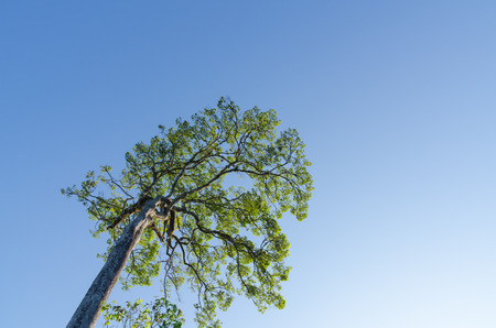 evergreen forest: The forest tree and blue sky  in dry evergreen forest  at Tak Thailand Stock Photo