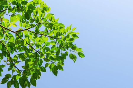 foret sapin: L'arbre de la for�t et le ciel bleu dans la for�t s�che sempervirente � Tak Tha�lande