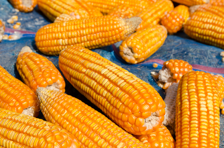 forage: Corn drying prepared to produce forage on farm Stock Photo