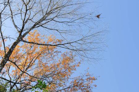 foret sapin: L'arbre de la for�t et le ciel bleu au printemps � Tak Tha�lande