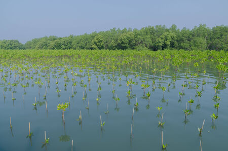 brackish water: Mangrove planting  is one solution for reduce global warming Stock Photo