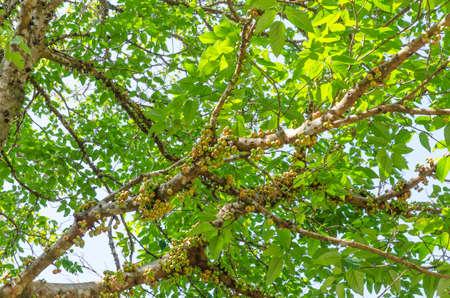 foret sapin: L'arbre de la for�t dans la for�t s�che sempervirente � Tak Tha�lande