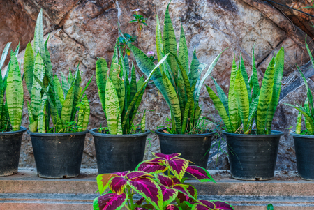 Sansevieria Trifasciata Mother-in-law Snake Plant with Purple Nettle Painted Plant in Garden