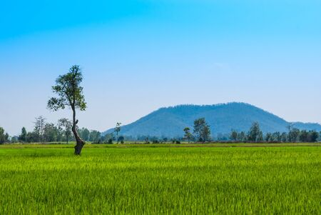 Tall Tree in Green Rice Field with Mountain Background