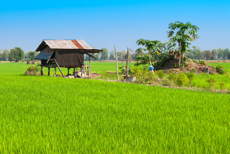 ignore: Rice Field with Abandoned Little Farmer Hut