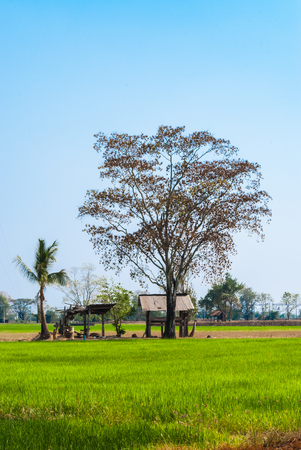 Rice Field with Abandoned Farmer Shelter and Big Tree