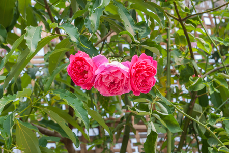 tripple: Closeup to Tripple Pink or Summer Damask Rose Rosa ? Damascena Mill. Rosaceae Flowers