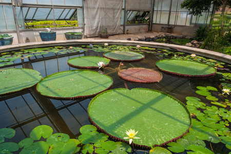 Victoria Lotus Nymphaea Lotus Nymphaeaceae in Glass Building Stock Photo