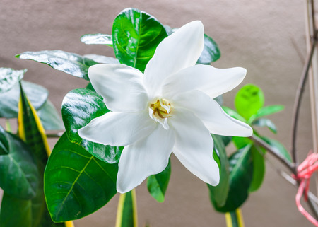 Closeup to Single Fresh Blooming White Gardenia Collinsiae Rubiaceae Flower Stock Photo
