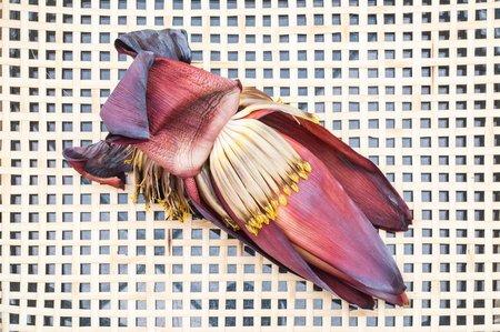 Closeup to Withered Flower Banana (Edible) on Rattan Tray