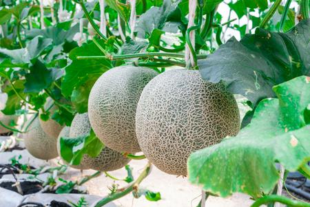 Close-up van Cantaloupe / Muskus Meloen / Cucumis Melo L. Var. Cantalpensis / Cucurbitaceous