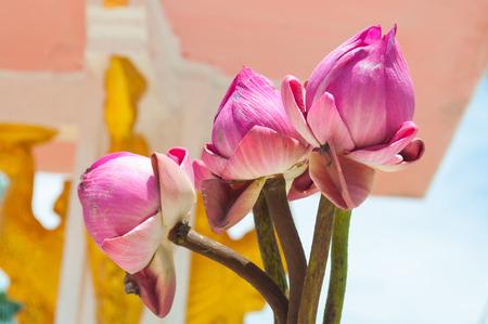 Closeup to Three Beautiful Lotus Bud Flower