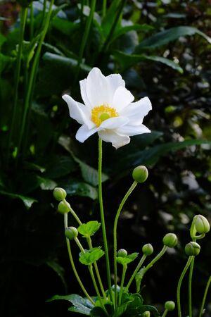 Anemone hupehensis Stockfoto