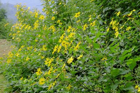 Jerusalem artichoke flowers. Stock Photo