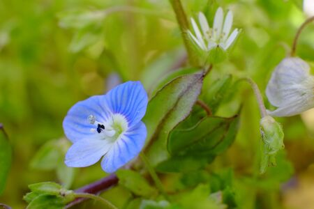 Veronica persica blue color flower.