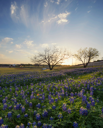 Bluebonnet flowers field in Irving, Texas Stock Photo