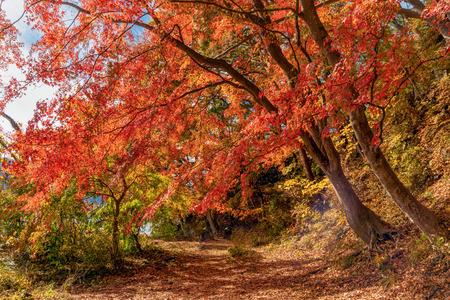 Rood herfstgebladerte in de herfst in de buurt van Fujikawaguchiko, Yamanashi. Een boom in Japan met blauwe hemelachtergrond.