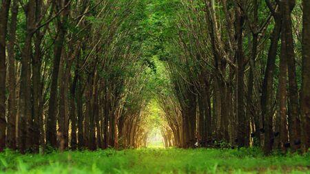 Tree tunnel in rubber plantation, Phuket, Thailand. Way through garden park in summer season.