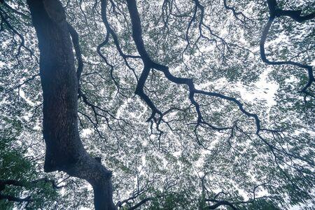 Giant green Samanea saman tree with branch in national park garden, Kanchanaburi district, Thailand. Natural landscape background. Banque d'images - 132116976