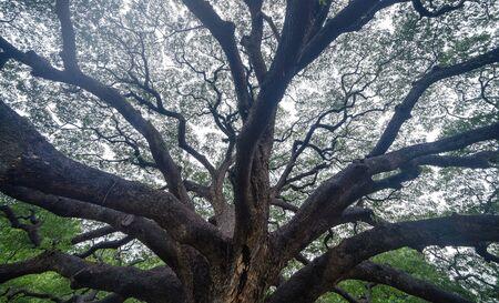 Giant green Samanea saman tree with branch in national park garden, Kanchanaburi district, Thailand. Natural landscape background. Banque d'images - 132116258