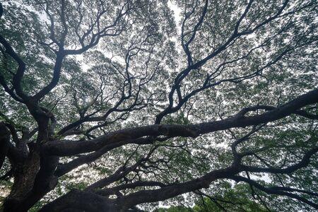 Giant green Samanea saman tree with branch in national park garden, Kanchanaburi district, Thailand. Natural landscape background. Banque d'images - 132117452