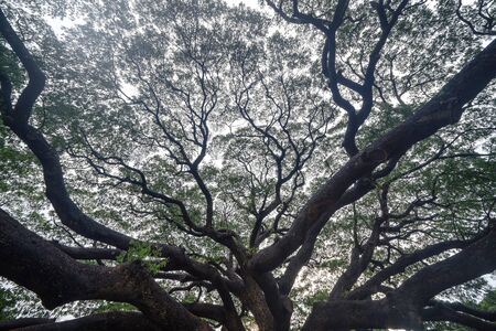 Giant green Samanea saman tree with branch in national park garden, Kanchanaburi district, Thailand. Natural landscape background. Banque d'images - 132116881