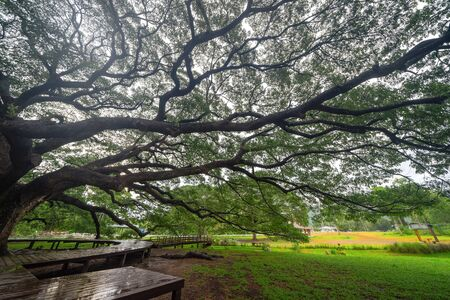 Giant green Samanea saman tree with branch in national park garden, Kanchanaburi district, Thailand. Natural landscape background. Banque d'images - 132116585