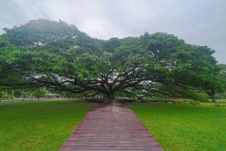 Giant green Samanea saman tree with branch in national park garden, Kanchanaburi district, Thailand. Natural landscape background. Banque d'images - 132116571