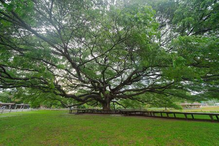 Giant green Samanea saman tree with branch in national park garden, Kanchanaburi district, Thailand. Natural landscape background. Banque d'images - 132117231