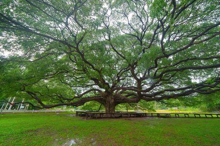 Giant green Samanea saman tree with branch in national park garden, Kanchanaburi district, Thailand. Natural landscape background. Banque d'images - 132118120