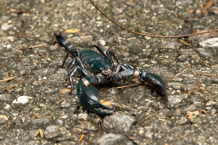 A black scorpion on ground outdoor in national park garden. Tropical forest in summer season. An insect in Kanchanaburi district, Thailand.