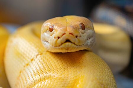 A yellow snake in tropical forest, natural outdoor. Reptile animal series.