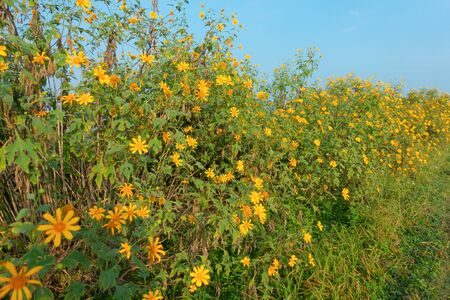 Tree Marigold or yellow flowers in national garden park and mountain hills with blue sky in Lumpang province, Thailand. Nature landscape background in travel trip and vacation concept. Stockfoto