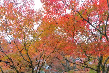 Feuilles d'érable rouge ou feuillage d'automne en automne coloré près de Fujikawaguchiko, Yamanashi. Cinq lacs. Arbres au Japon avec ciel bleu. Fond de paysage naturel