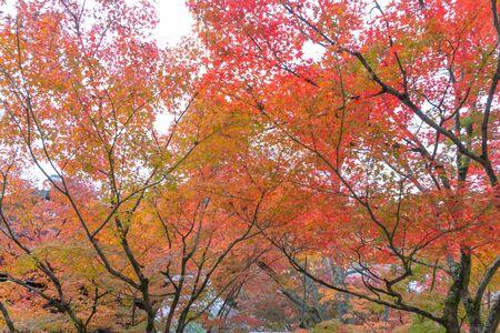Rote Ahornblätter oder Herbstlaub in der bunten Herbstsaison in der Nähe von Fujikawaguchiko, Yamanashi. Fünf Seen. Bäume in Japan mit blauem Himmel. Naturlandschaftshintergrund