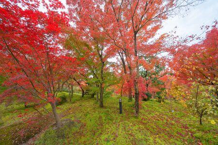Foglie di acero rosse o foglie d'autunno nella colorata stagione autunnale vicino a Fujikawaguchiko, Yamanashi. Cinque laghi. Alberi in Giappone con cielo blu. Sfondo del paesaggio naturale Nature