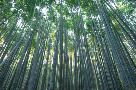 Japanese Bamboo Forest. Tall trees at Arashiyama in travel holidays vacation trip outdoors in Kyoto, Japan. Tall trees in natural park. Nature landscape background. Stok Fotoğraf