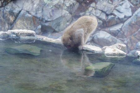 A Japanese snow monkey or Macaque with hot spring On-sen in Jigokudani Monkey Park, Shimotakai District, Nagano , Japan. Wildlife animal. Stockfoto