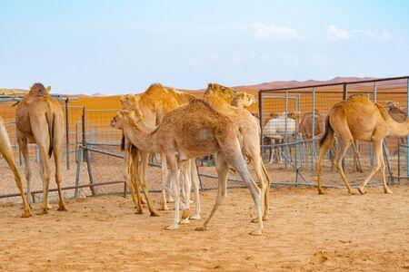 Group of Arabian camel or dromedary in sand desert safari in summer season with blue sky background in Dubai city, United Arab Emirates or UAE. Wildlife mammal animal.