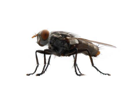 Nahaufnahme einer Fliege mit Flügeln und Beinen auf weißem Hintergrund. Ein schwarzes Insekt, Tier. Standard-Bild