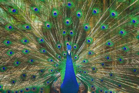 Peacock bird displaying out spread tail feathers with colorful plumage in zoo park. Wild animal in nature.
