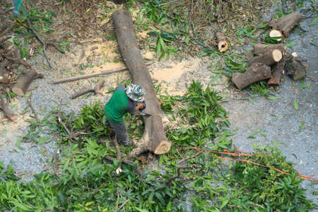 Tree cutter or Lumberjack logger worker man with chainsaw cutting green firewood timber natural tree  in forest