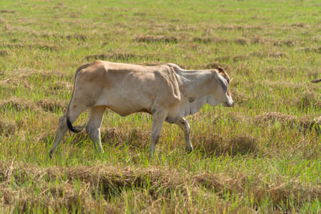 Cows eating green rice and grass field in Kanchanaburi district, Thailand in travel vacation concept. Animals in agriculture farm. Banco de Imagens - 157811731