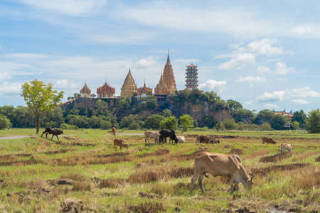 Cows eating green rice and grass field at Wat Tham Sua or Tiger Cave Temple, in Kanchanaburi district, Thailand. Famous tourist attraction in travel vacation concept. Animals in agriculture farm. Banco de Imagens - 157811806