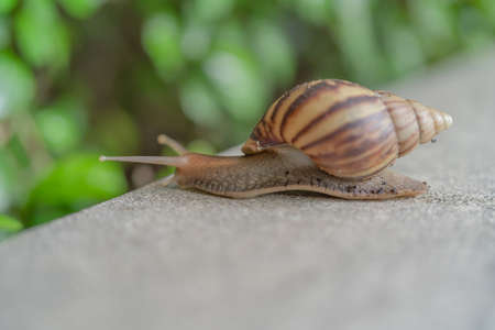 Snail with shell crawling slowly isolated on green nature tree. Small wildlife animal bug in garden. Banco de Imagens - 157811832