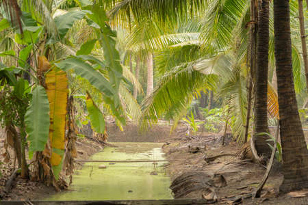 Coconut on palm tree trunk or coconut tree with canal, economic traditional plant from Thailand. Nature background. Banco de Imagens - 158464519