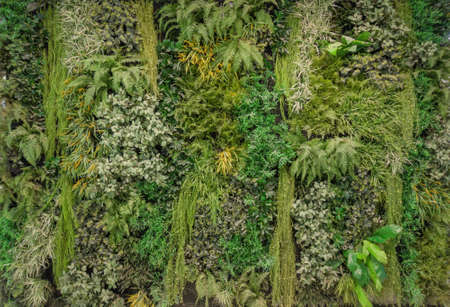 Vertical garden lush green wall fence or moss wall pattern surface texture. Close-up of exterior natural material for design decoration background