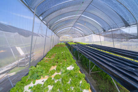 Row of fresh vegetable salad garden plant industry farm in argricuture concept. Hydroponic natural food. Crops Banco de Imagens - 160981946