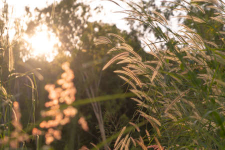 Long tall wild grass in a field. Rye nature green plant in forest or park with sunlight flare background in spring season in ecology, holiday vacation and travel concept. Fresh relaxation